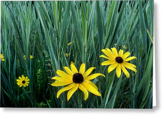 Yellow Coneflower Greeting Cards - Black Eyed Susan and Tall Grass Greeting Card by Tony Ramos