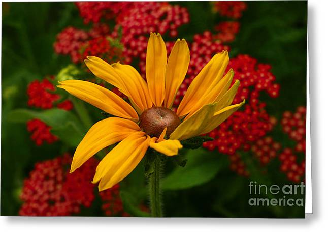 Black-eyed Susan And Yarrow Greeting Card by Steve Augustin