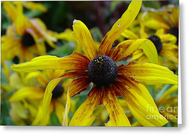 Imperfect Greeting Cards - Black Eyed Susan for Lunch Greeting Card by Heather Kirk