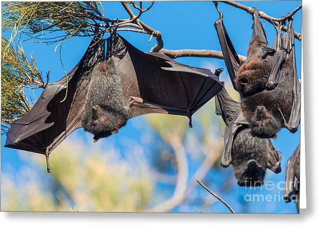 Black Flying Fox Bats Greeting Card by B.G. Thomson
