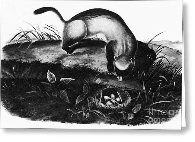 Ferret Greeting Cards - Black-footed Ferret Greeting Card by Granger