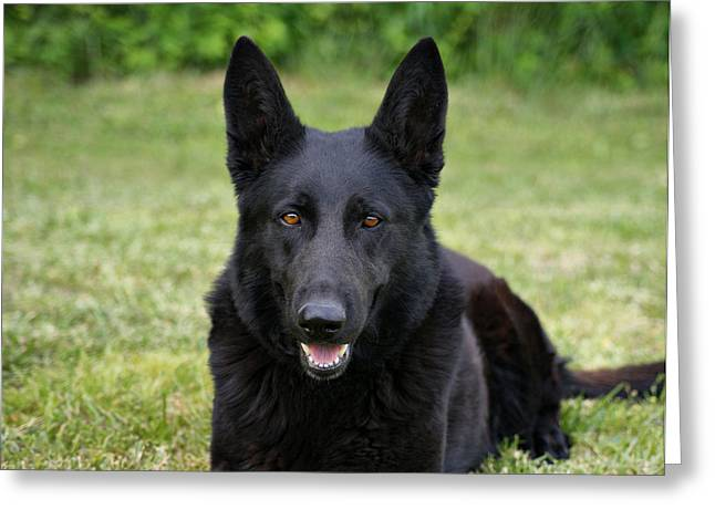 Indiana Photography Greeting Cards - Black German Shepherd Dog II Greeting Card by Sandy Keeton