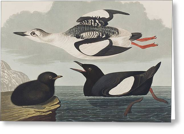 Baby Animal Drawings Greeting Cards - Black Guillemot Greeting Card by John James Audubon