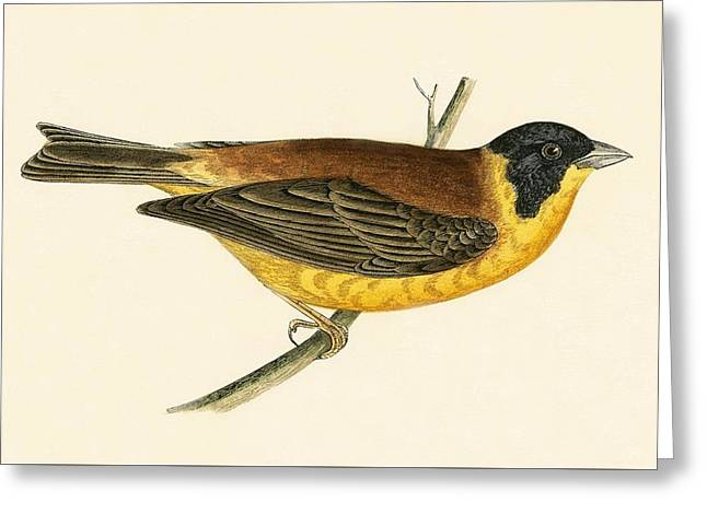 Black Headed Bunting Greeting Card by English School
