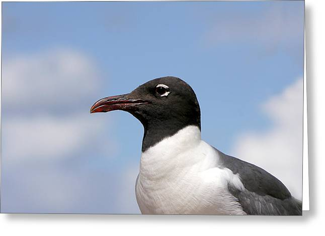Seabirds Greeting Cards - Black-headed Gull Greeting Card by Richard Reeve