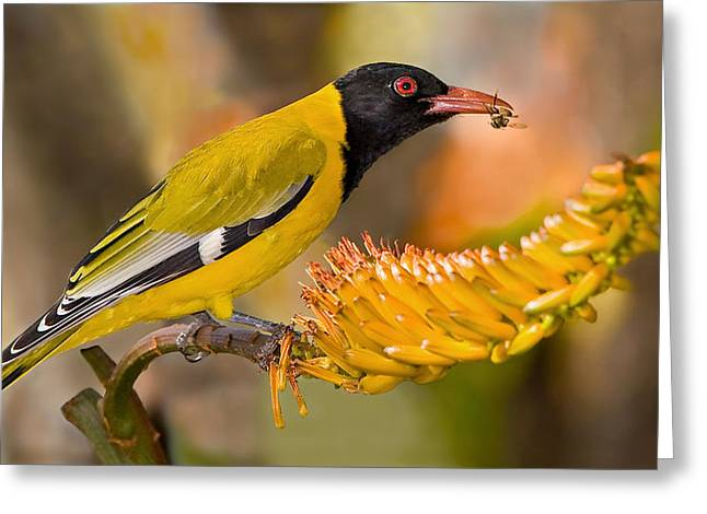 Feeding Birds Photographs Greeting Cards - Black-headed Oriole Greeting Card by Basie Van Zyl
