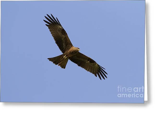 Black Kite Greeting Card by Bernd Rohrschneider/FLPA