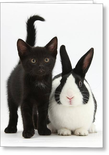 """house Cat"" Greeting Cards - Black Kitten And Dutch Rabbit Greeting Card by Mark Taylor"