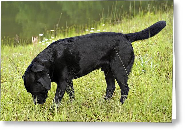Photographs Greeting Cards - Black Lab in Grass Greeting Card by Susan Leggett