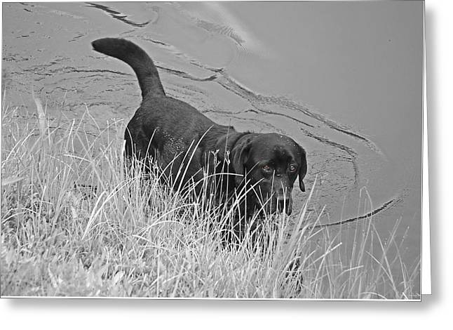 Photographs Greeting Cards - Black Lab in Water Greeting Card by Susan Leggett