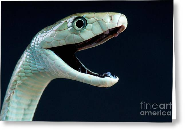 Black Mamba Greeting Card by Reptiles4all