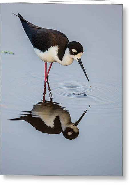 Black-necked Stilt Reflection Greeting Card by Andres Leon