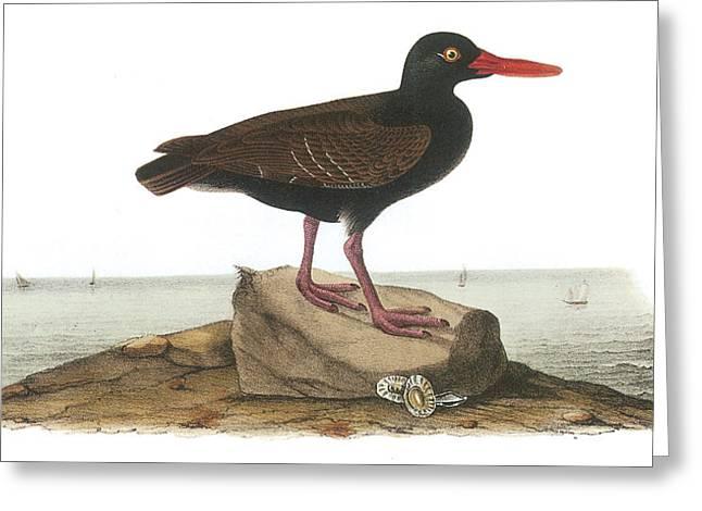 Sea Birds Greeting Cards - Black Oystercatcher Greeting Card by John James Audubon