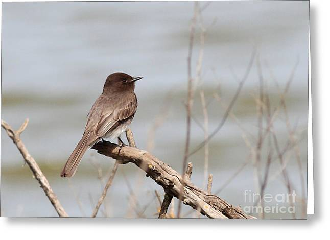 Phoebe Greeting Cards - Black Phoebe Greeting Card by Wingsdomain Art and Photography