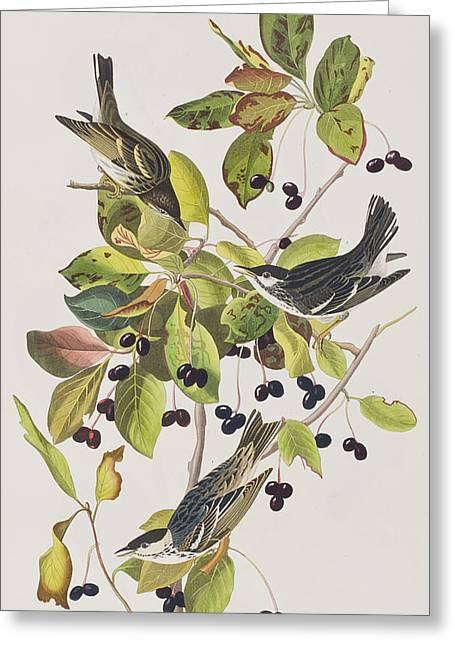 Black Poll Warbler Greeting Card by John James Audubon