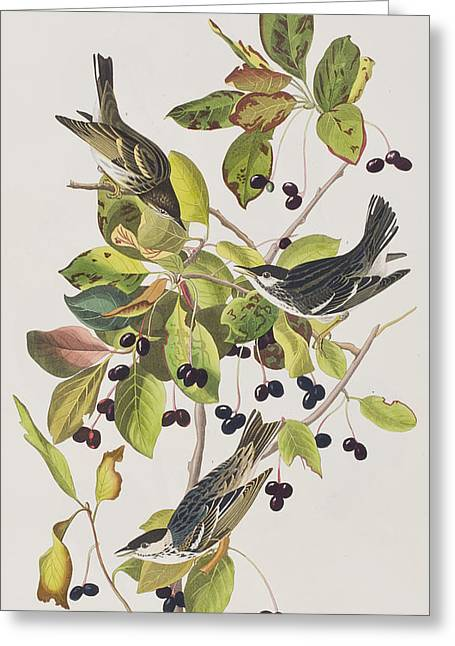 Warblers Greeting Cards - Black Poll Warbler Greeting Card by John James Audubon