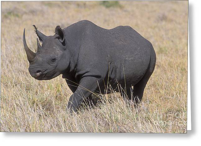 Rhinoceros Greeting Cards - Black Rhino on the Masai Mara Greeting Card by Sandra Bronstein