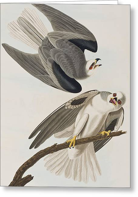 Kites.kite Greeting Cards - Black Shouldered Elanus Greeting Card by John James Audubon