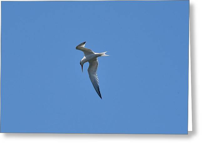 Seabirds Greeting Cards - Common Tern I Greeting Card by Linda Brody