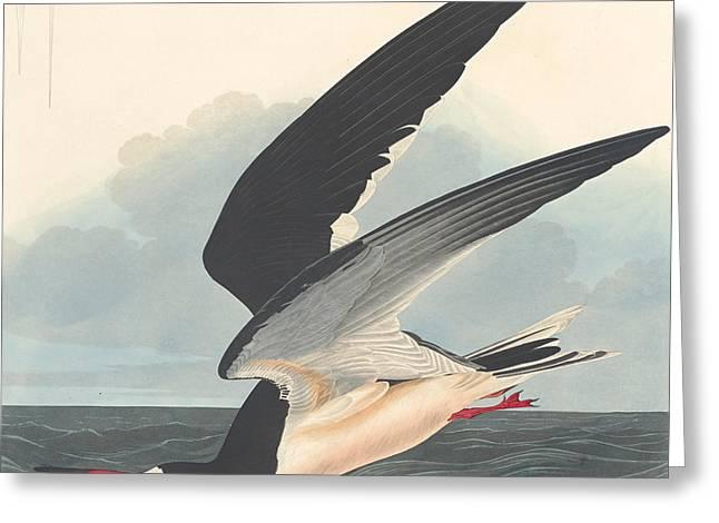 Black Skimmer Greeting Card by John James Audubon