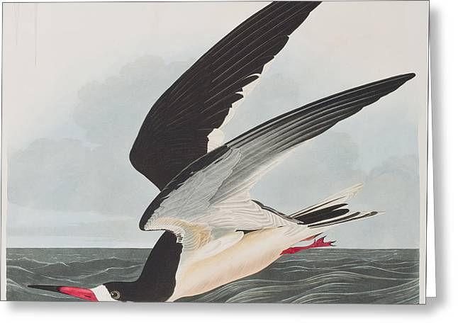 Hunting Bird Drawings Greeting Cards - Black Skimmer or Shearwater Greeting Card by John James Audubon