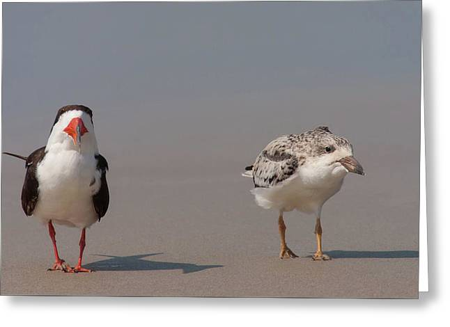 Beach Photography Greeting Cards - Black Skimmers Adult and Chick Greeting Card by Paul Rebmann