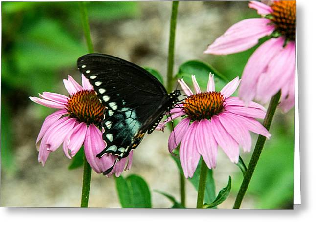Pairs Greeting Cards - Black Swallowtail Butterfly among the Cone Flowers Greeting Card by Douglas Barnett