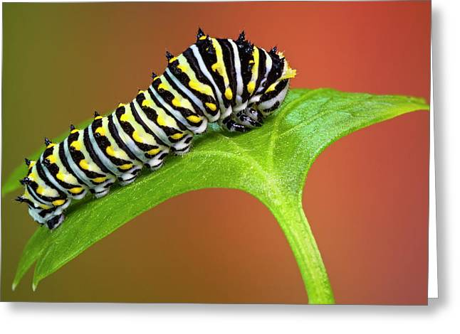 Black Swallowtail Butterfly Caterpillar Greeting Card by Susan Candelario