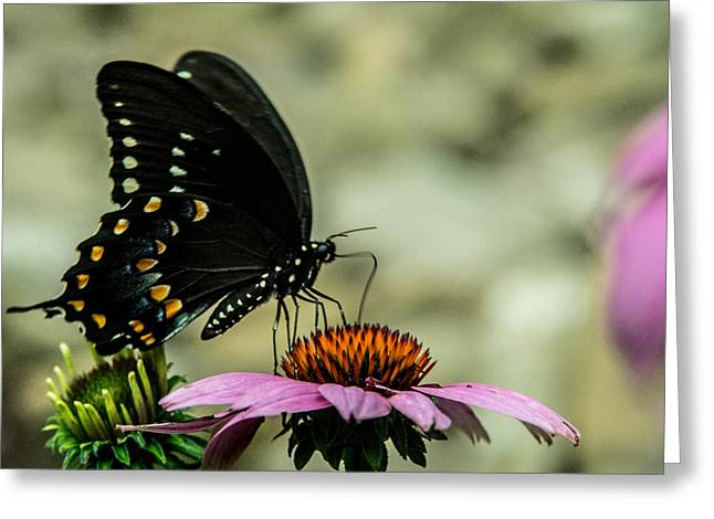 Pairs Greeting Cards - Black Swallowtail Butterfly Feeding on Cone Flower Greeting Card by Douglas Barnett