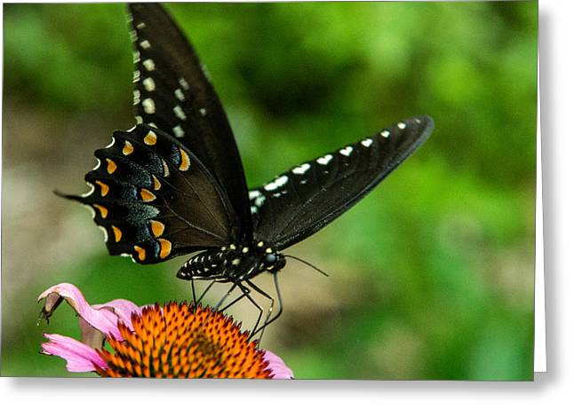 Pairs Greeting Cards - Black Swallowtail Butterfly Intent on Feeding Greeting Card by Douglas Barnett