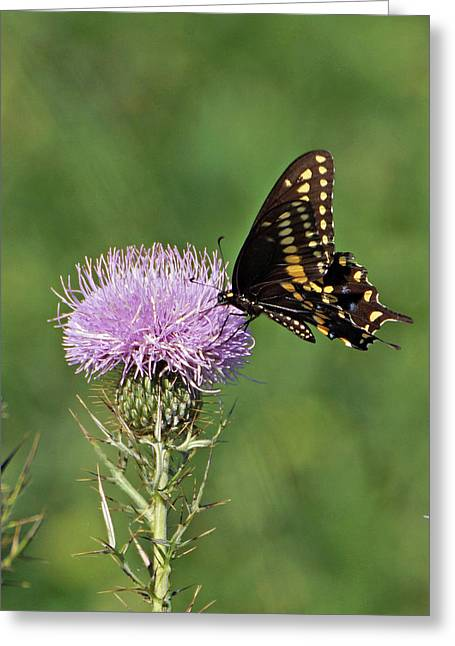 Indiana Flowers Greeting Cards - Black Swallowtail Butterfly Greeting Card by Sandy Keeton