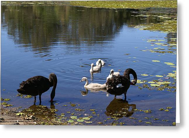 Portrait Greeting Cards - Black Swans Greeting Card by Brian Leverton