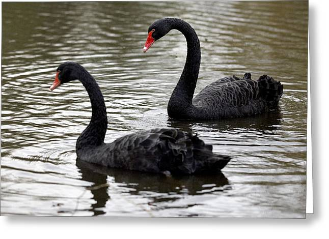 Black Swans Greeting Card by Denise Swanson