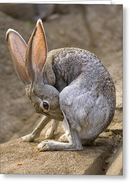 Hare Greeting Cards - Black-tailed Jackrabbit Lepus Greeting Card by Joel Sartore