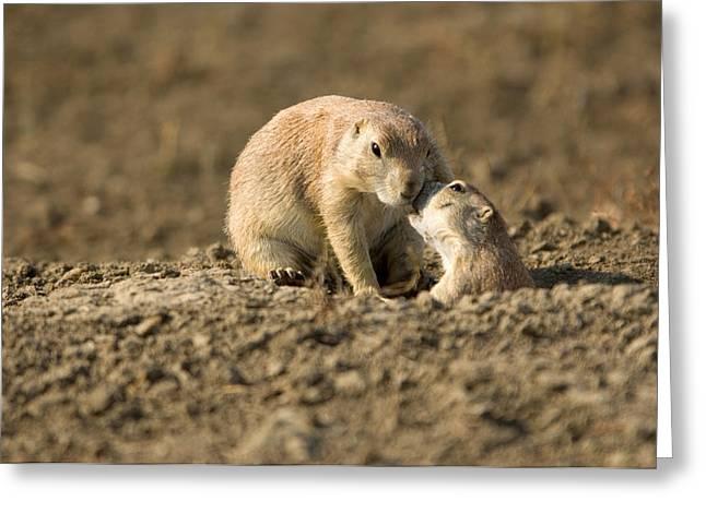 Black-tailed Prairie Dogs In Eastern Greeting Card by Joel Sartore