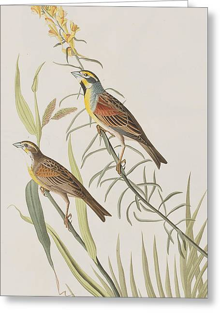 From Birds Of America Drawings Greeting Cards - Black-Throated Bunting Greeting Card by John James Audubon