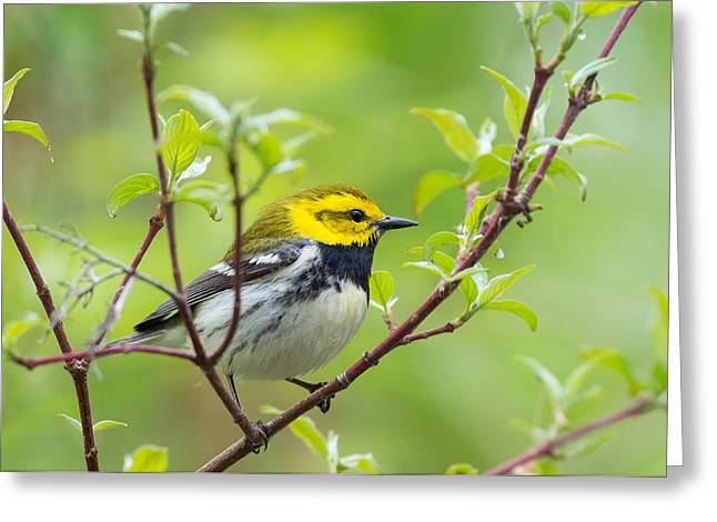 Wood Warbler Greeting Cards - Black-throated Green Warbler Greeting Card by Jim Zablotny
