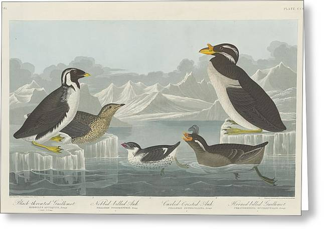 Shorebirds Greeting Cards - Black-Throated Guillemot and Nobbed-Billed Auk and Curled-Crested Auk and Horned-Billed Guillemot Greeting Card by John James Audubon