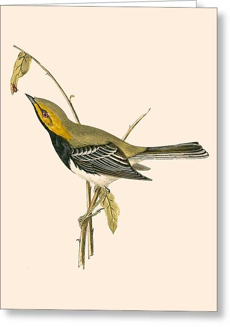 Black Throated Warbler Greeting Card by English School
