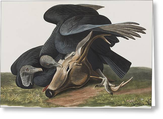 American Crow Greeting Cards - Black Vulture or Carrion Crow Greeting Card by John James Audubon