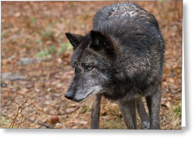 Hairy Wolf Greeting Cards - Black Wolf Greeting Card by Jim DeLillo
