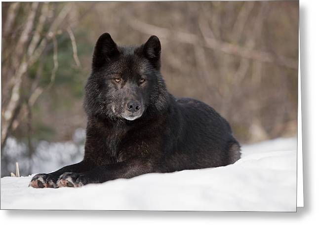 Furry Coat Greeting Cards - Black Wolf Greeting Card by John Hyde - Printscapes