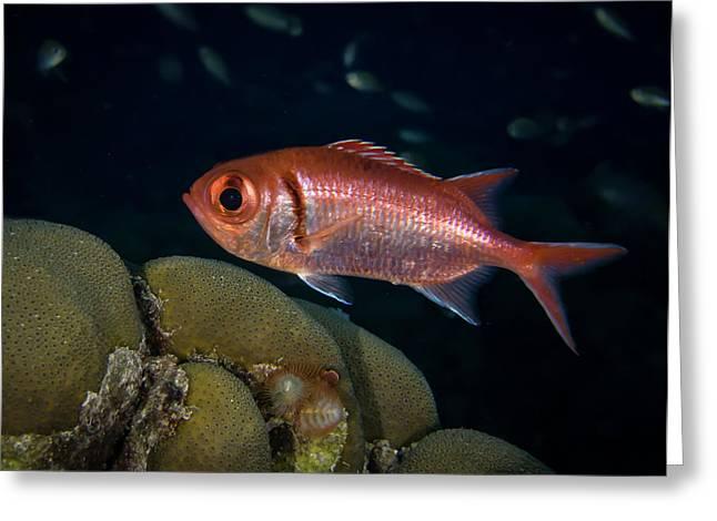 Blackbar Soldierfish Greeting Card by Jean Noren