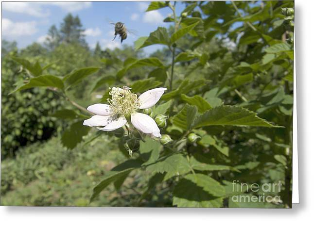 Berry Greeting Cards - Blackberry Flower Greeting Card by Vesna Cetojevic