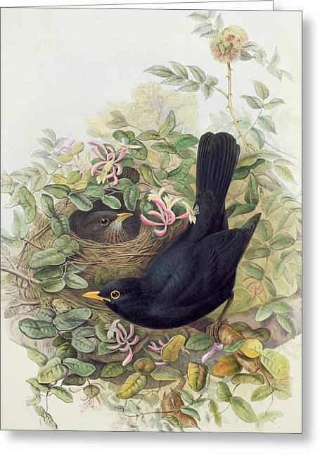 Blackbird,  Greeting Card by John Gould