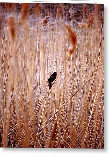 Jame Hayes Greeting Cards - Blackbird Lookout Greeting Card by Jame Hayes