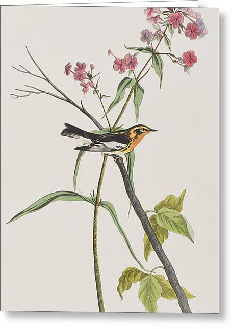 Warblers Greeting Cards - Blackburnian Warbler Greeting Card by John James Audubon