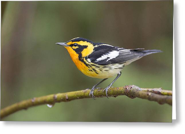 Wildlife Celebration Greeting Cards - Blackburnian warbler male in spring finery Greeting Card by Birds Only