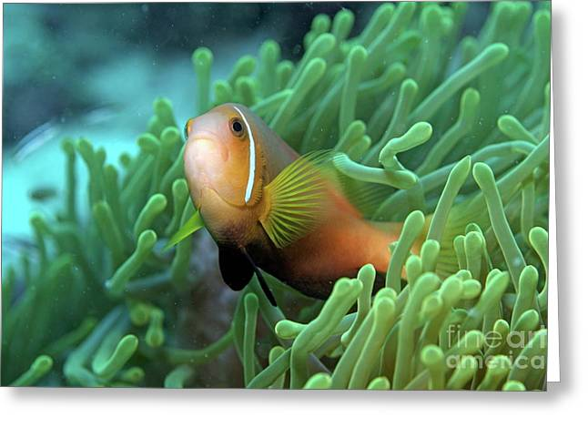 Protected Sea Life Greeting Cards - Blackfoot Anemonefish Greeting Card by Sami Sarkis