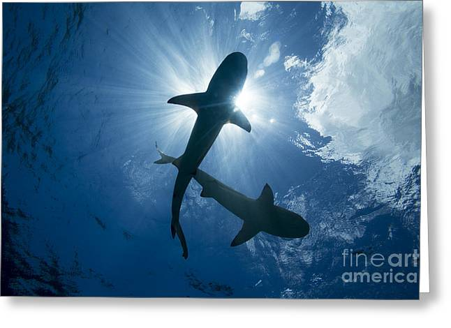 Yapping Greeting Cards - Blacktip Reef Sharks  Carcharhinus Greeting Card by Dave Fleetham
